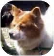 American Eskimo Dog/Corgi Mix Dog for adoption in Proctorville, Ohio, Ohio - Sugar