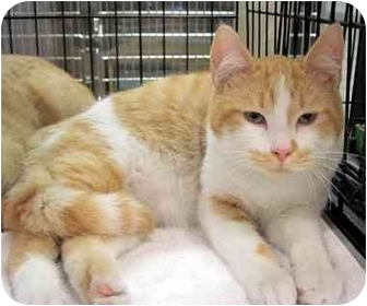 Domestic Shorthair Kitten for adoption in Overland Park, Kansas - Chili