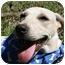 Photo 2 - Labrador Retriever/Terrier (Unknown Type, Medium) Mix Puppy for adoption in braxton, Mississippi - Madonna