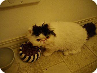 Persian Kitten for adoption in Sheridan, Oregon - Toupe