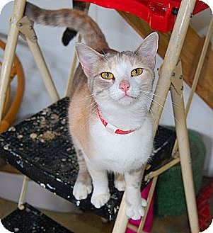 Calico Cat for adoption in Jackson, Mississippi - Patty