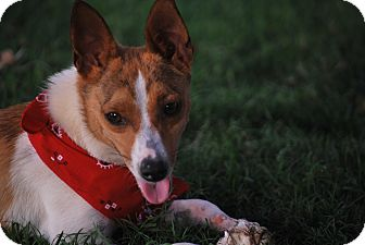 Jack Russell Terrier Mix Dog for adoption in Brattleboro, Vermont - Ginger