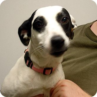 Jack Russell Terrier/Labrador Retriever Mix Dog for adoption in Manassas, Virginia - crystal