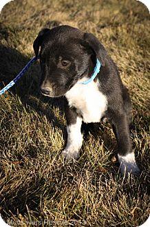 Border Collie/Labrador Retriever Mix Puppy for adoption in Broomfield, Colorado - Twinkle McJingles