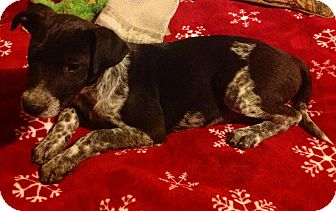Labrador Retriever/Border Collie Mix Puppy for adoption in Knoxville, Tennessee - Tater