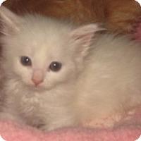 Adopt A Pet :: Muffin - Dallas, TX