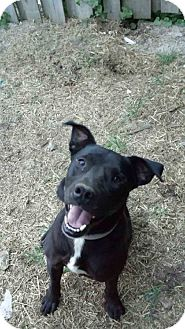 Labrador Retriever/American Pit Bull Terrier Mix Dog for adoption in Treton, Ontario - Buddy