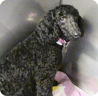 Poodle (Miniature) Dog for adoption in Oak Ridge, New Jersey - Roxanne