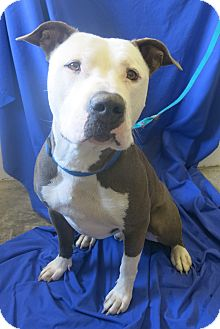 Pit Bull Terrier Mix Dog for adoption in Buena Vista, Colorado - Orby