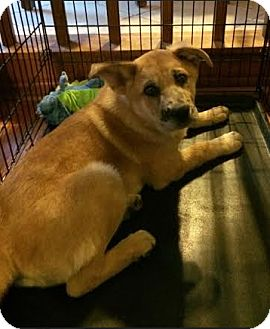 Husky/Shepherd (Unknown Type) Mix Puppy for adoption in Hainesville, Illinois - Hobbs