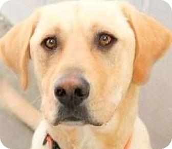 Labrador Retriever Dog for adoption in Winchester, Kentucky - SCOOTER(THROWN AWAY-PLS READ!