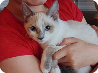 Snowshoe Kitten for adoption in Marietta, Georgia - Rebel