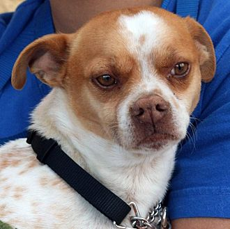 Dachshund Mix Dog for adoption in Palmdale, California - Patches