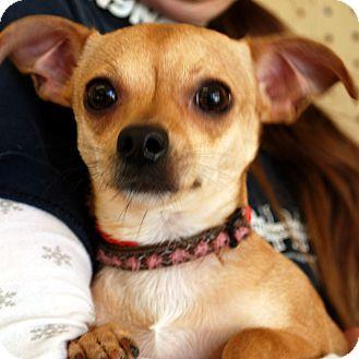 Chihuahua Mix Dog for adoption in Hayden, Idaho - Sarah