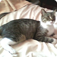 Domestic Shorthair Cat for adoption in Harmony, North Carolina - Baby