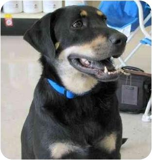 German Shepherd Dog/Hound (Unknown Type) Mix Dog for adoption in Cedar Creek, Texas - Kipper