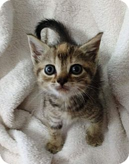 Domestic Shorthair Kitten for adoption in Powellsville, North Carolina - LADY JAWS