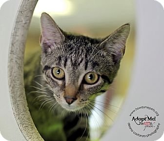 Domestic Shorthair Kitten for adoption in Lyons, New York - Paula