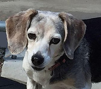 Beagle Dog for adoption in Canterbury, New Hampshire - Sophie