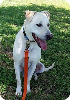 Labrador Retriever Mix Dog for adoption in Austin, Texas - Diaz