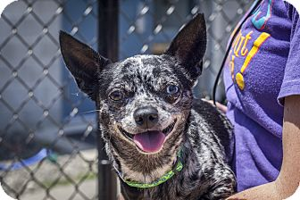 Chihuahua Mix Dog for adoption in St Helena, California - Blue