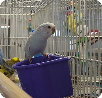Budgie for adoption in Grandview, Missouri - Gerty and Sprite