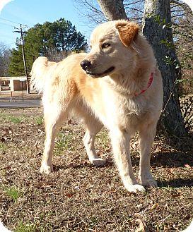 Golden Retriever Mix Dog for adoption in Bedminster, New Jersey - Sugar