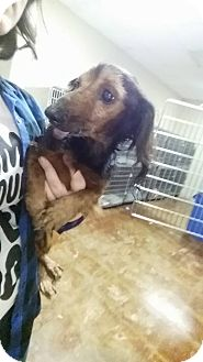 Dachshund Dog for adoption in Pittsburg, Kansas - Pappy-Foster Opportunity!