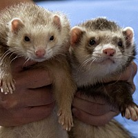Ferret for adoption in Brandy Station, Virginia - COUSCOUS & FIONA