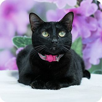 Domestic Shorthair Cat for adoption in Houston, Texas - Enyo