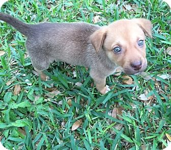Labrador Retriever Mix Puppy for adoption in New York, New York - Snickers