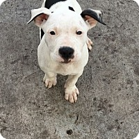 Adopt A Pet :: ROSCOE - Hollywood, FL
