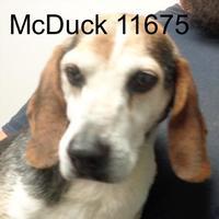 Adopt A Pet :: McDuck - Manassas, VA