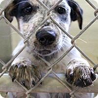 Adopt A Pet :: Devon-ADOPTION PENDING - Boulder, CO
