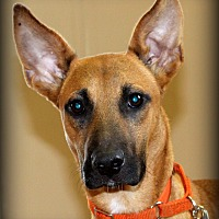 Belgian Malinois/Shepherd (Unknown Type) Mix Dog for adoption in Southbury, Connecticut - Lil B