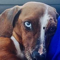Adopt A Pet :: Opal - Hagerstown, MD