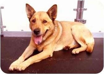 German Shepherd Dog/Shiba Inu Mix Dog for adoption in New York, New York - Joseline