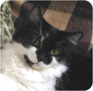 Domestic Mediumhair Cat for adoption in Toronto, Ontario - Erin