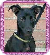 Italian Greyhound Puppy for adoption in Los Angeles, California - Lexi