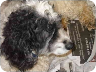 Cocker Spaniel Dog for adoption in Lonedell, Missouri - Bleu