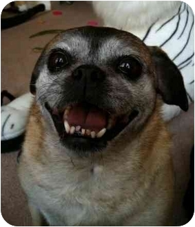 Pug Mix Dog for adoption in Calgary, Alberta - Chloe (2)