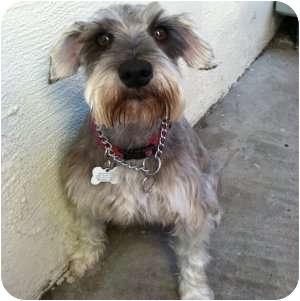 Schnauzer (Miniature) Dog for adoption in Redondo Beach, California - Elmo