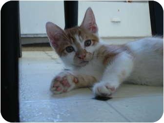 Domestic Shorthair Kitten for adoption in Davis, California - Ceviche