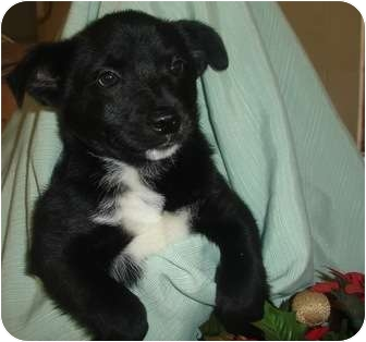 Labrador Retriever/Border Collie Mix Puppy for adoption in Old Bridge, New Jersey - Brooke