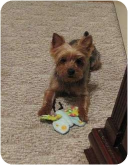 Yorkie, Yorkshire Terrier Dog for adoption in Baton Rouge, Louisiana - Miley