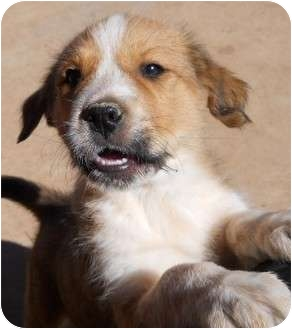 Airedale Terrier/Cattle Dog Mix Puppy for adoption in dewey, Arizona - Spice