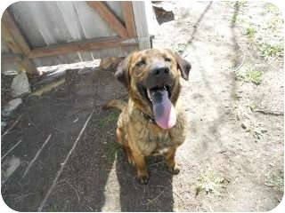 Boxer Mix Dog for adoption in Alliance, Nebraska - Dakota