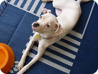 Boxer Puppy for adoption in Scottsdale, Arizona - Pearl