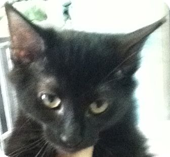 Bombay Kitten for adoption in Union, New Jersey - Brandy