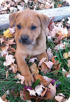 Boxer Mix Puppy for adoption in Chattanooga, Tennessee - Bop